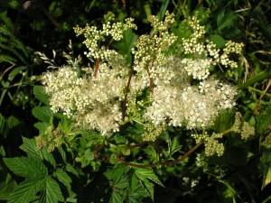 Meadow Sweet-Fil ipendula ulmaria